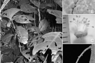 Công bố một loài thực vật mới cho khoa học tại VQG Phong Nha - Kẻ Bàng